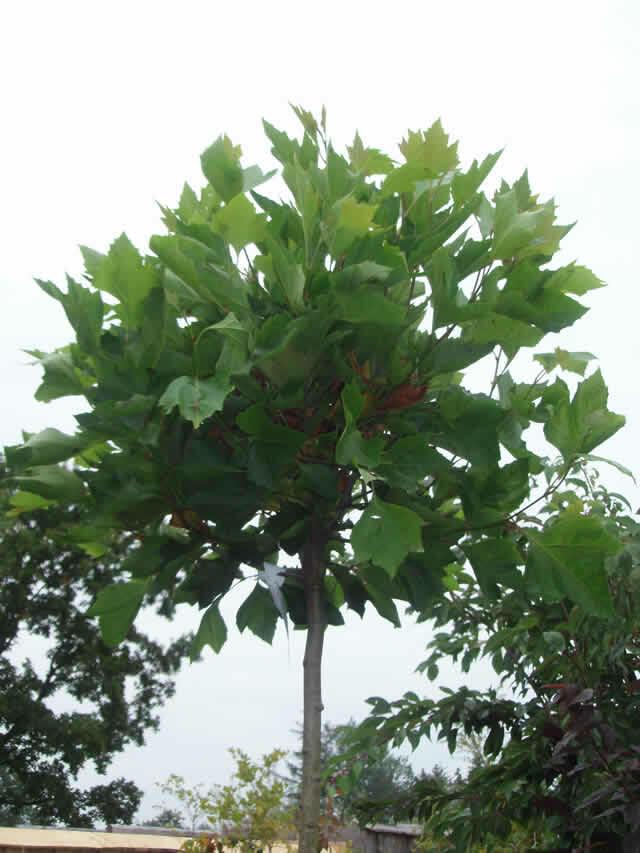 Platan javorolistý 'Alphens Globe' - Platanus acerifolia 'Alphens Globe'
