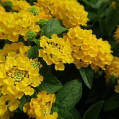 Libora měňavá 'Esperanta Compact Yellow' - Lantana camara 'Esperanta Compact Yellow'