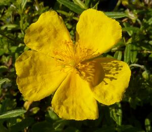 Devaterník 'Golden Queen' - Helianthemum 'Golden Queen'