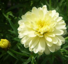 Kopretina pařížská 'Aramis Double Primrose' - Argyranthemum frutescens 'Aramis Double Primrose'