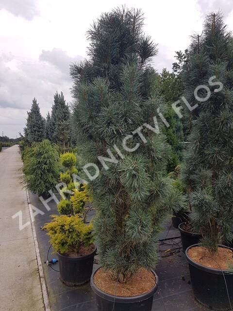 Borovice lesní 'Fastigiata' - Pinus sylvestris 'Fastigiata'