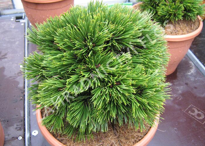 Borovice bělokorá 'Schmidtii' - Pinus heldreichii 'Schmidtii'
