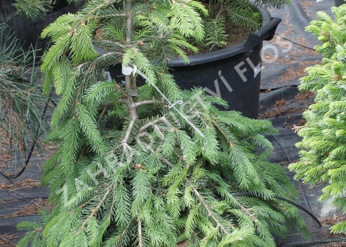 Smrk ztepilý 'Formanek' - Picea abies 'Formanek'