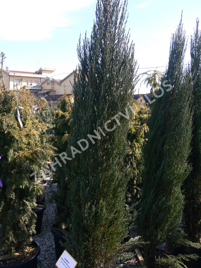 Jalovec skalní 'Blue Arrow' - Juniperus scopulorum 'Blue Arrow'