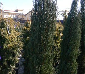 Jalovec skalní 'Blue Arrow' - Juniperus scopulorum 'Blue Arrow'
