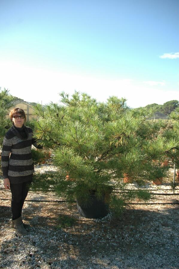 Borovice hustokvětá 'Umbraculifera' - Pinus densiflora 'Umbraculifera'