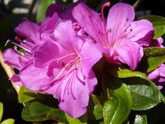 Azalka japonská 'Geisha Purple' - Azalea japonica 'Geisha Purple'