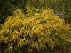 Cypřišek hrachonosný 'Filifera Aurea' - Chamaecyparis pisifera 'Filifera Aurea'