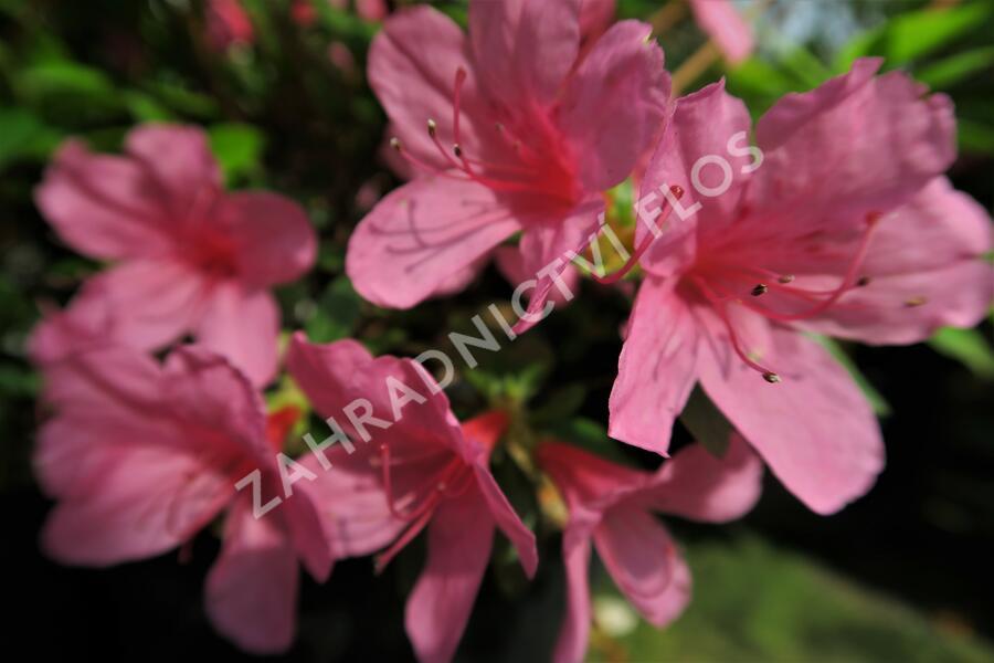 Azalka japonská 'Mad. van Hecke' - Azalea japonica 'Mad. van Hecke'