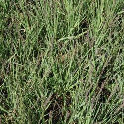 Bezkolenec modrý 'Moorhexe' - Molinia caerulea 'Moorhexe'