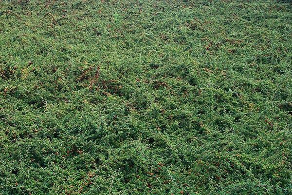 Skalník vrbolistý 'Gnom' - Cotoneaster salicifolius 'Gnom'