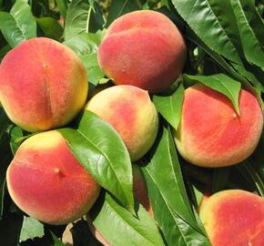 Broskvoň - středně raná 'Krasava' - Prunus persica 'Krasava'