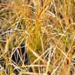 Ostřice 'Prairie Fire' - Carex testacea 'Prairie Fire'