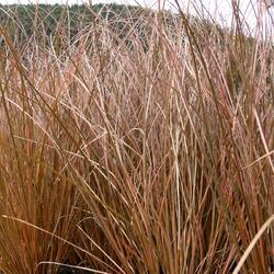 Ostřice chocholatá 'Bronce Form' - Carex comans 'Bronce Form'