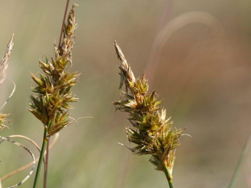 Ostřice písečná - Carex arenaria