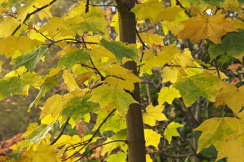 Javor kapadocký 'Aureum' - Acer cappadocicum 'Aureum'