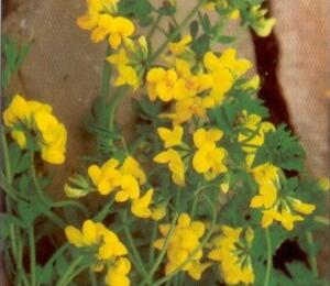 Štírovník růžkatý - Lotus corniculatus