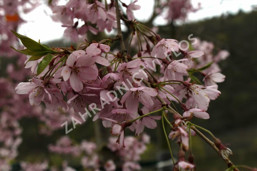 Višeň chloupkatá 'Pendula Rosea' - Prunus subhirtella 'Pendula Rosea'