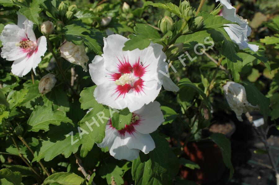 Ibišek syrský 'Monstrosus' - Hibiscus syriacus 'Monstrosus'