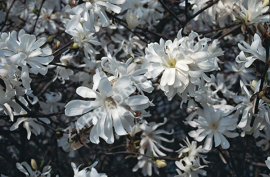Šácholan hvězdokvětý 'Royal Star' - Magnolia stellata 'Royal Star'