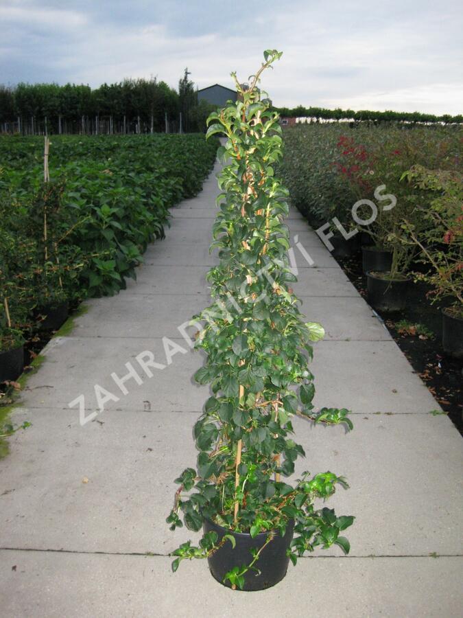 Hortenzie řapíkatá - Hydrangea anomala subsp. petiolaris