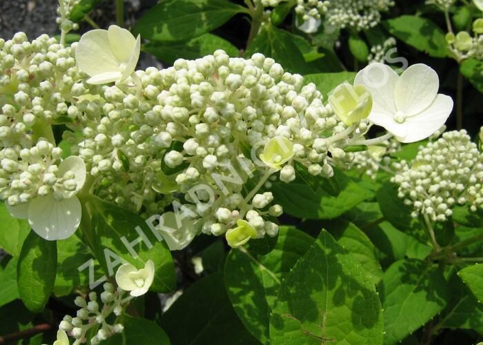 Hortenzie latnatá 'Early Sensation' - Hydrangea paniculata 'Early Sensation'