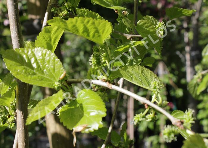 Morušovník bílý 'Pendula' - Morus alba 'Pendula'