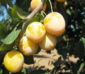Mirabelka - středně raná 'Nancyská' - Prunus domestica 'Nancyská'