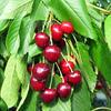 Třešeň velmi raná - srdcovka 'Rivan' - Prunus avium 'Rivan'