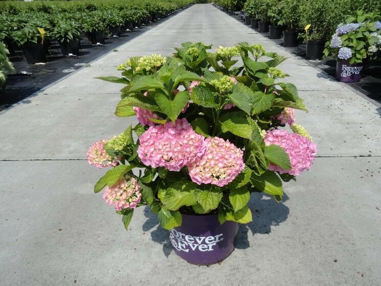 Hortenzie velkolistá 'Forever' - Hydrangea macrophylla 'Forever'