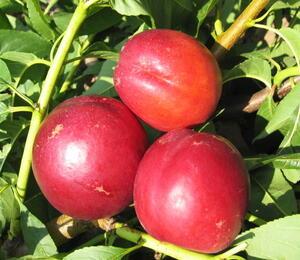Nektarinka - pozdní 'Stark Redgold' - Prunus persica 'Stark Redgold'