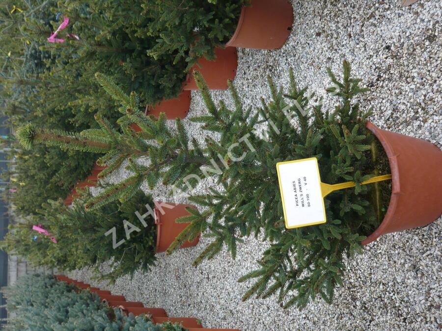 Smrk ztepilý 'Will's Zwerg' - Picea abies 'Will's Zwerg'