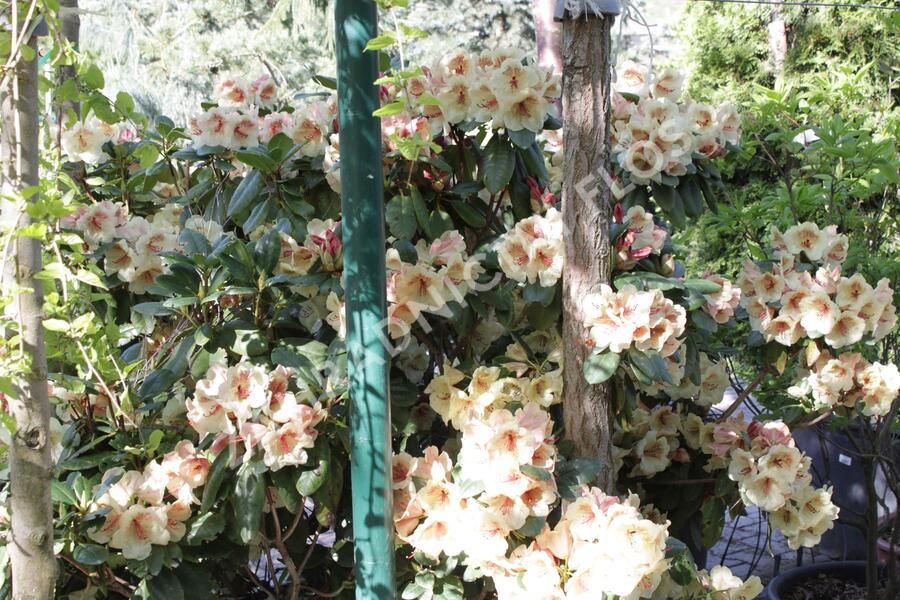 Pěnišník 'Viscy' - Rhododendron (T) 'Viscy'