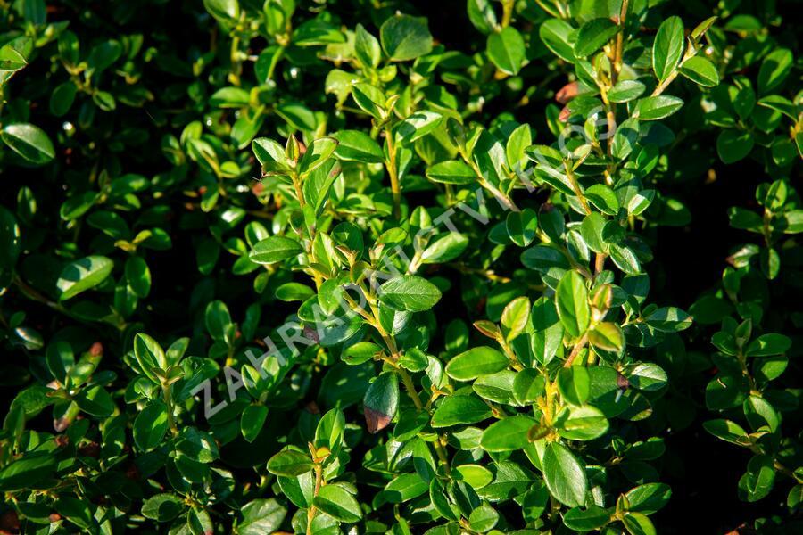 Skalník 'Jürgl' - Cotoneaster x suecicus 'Jürgl'