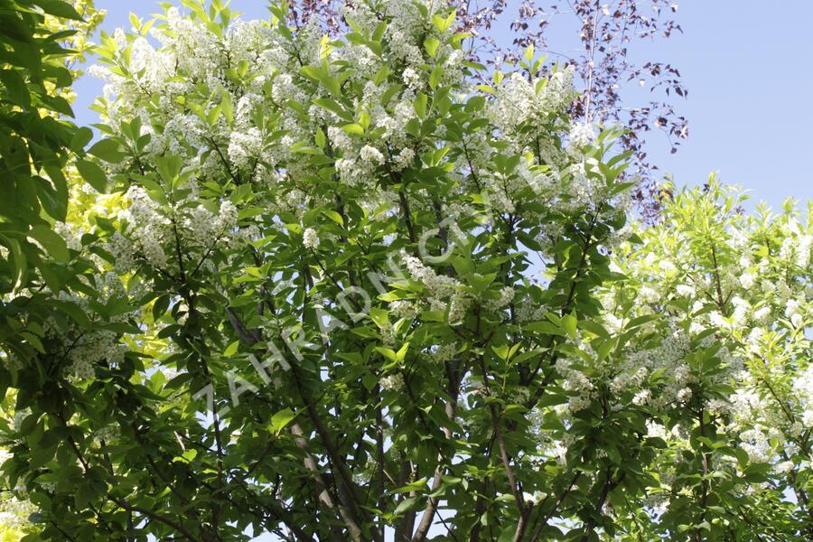 Střemcha obecná 'Nana' - Prunus padus 'Nana'