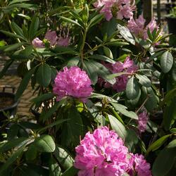 Pěnišník 'Roseum Elegans' - Rhododendron (T) 'Roseum Elegans'