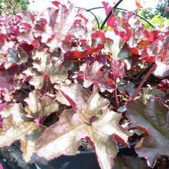 Dlužicha 'Can Can' - Heuchera 'Can Can'