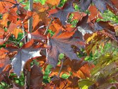 Javor mléč 'Royal Red' - Acer platanoides 'Royal Red'