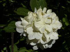 Kalina japonská 'Grandiflorum' - Viburnum plicatum 'Grandiflorum'