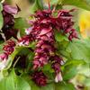 Leycestérie krásná 'Purple Rain' - Leycesteria formosa 'Purple Rain'