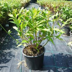 Trojpuk něžný - Deutzia gracilis