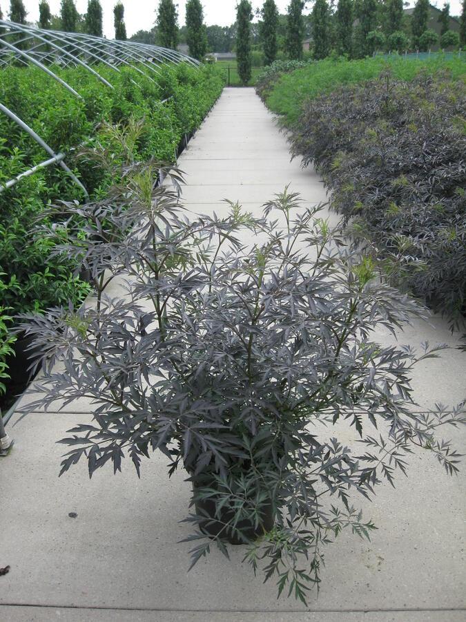 Bez černý 'Black Lace' - Sambucus nigra 'Black Lace'