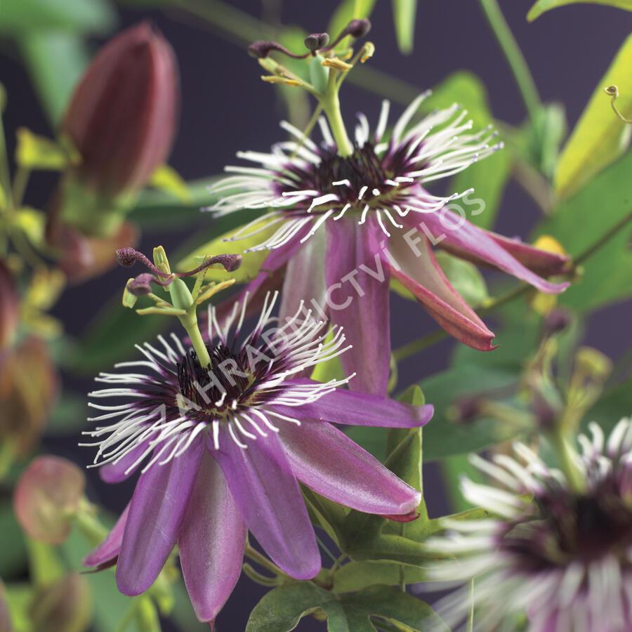 Mučenka 'Victoria' - Passiflora 'Victoria'