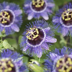 Mučenka 'Purple Rain' - Passiflora 'Purple Rain'