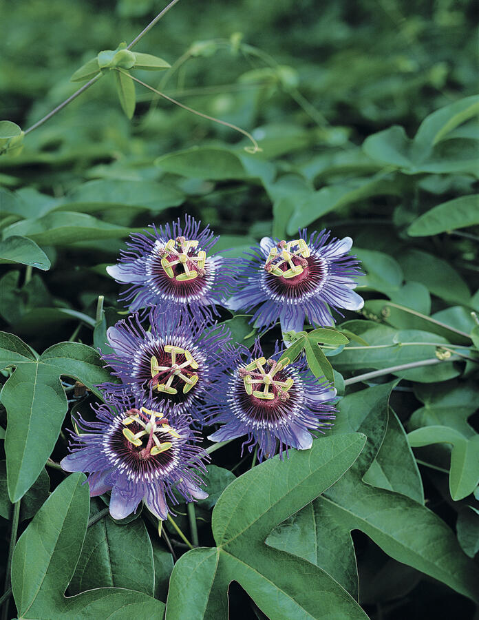 Mučenka 'Purple Haze' - Passiflora 'Purple Haze'
