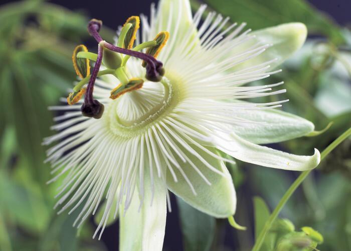 Mučenka 'Constance Elliott' - Passiflora 'Constance Elliott'