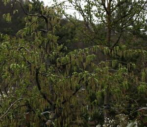 Habr obecný 'Pendula' - Carpinus betulus 'Pendula'