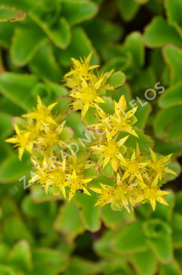 Rozchodník kamčatský - Sedum kamtschaticum ssp. ellacombianum