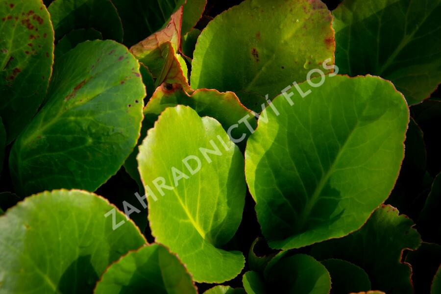 Bergénie srdčitá 'Shoeshine Rose' - Bergenia cordifolia 'Shoeshine Rose'