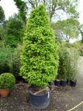 Habr obecný 'Monumentalis' - Carpinus betulus 'Monumentalis'